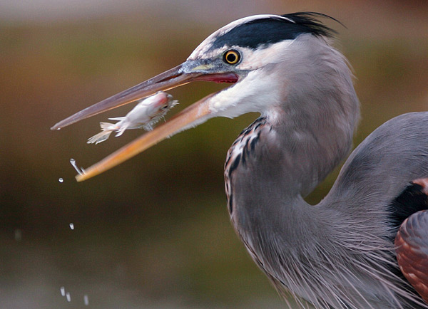 A Great Blue Heron finds  lunch along the Bay in San   Rafael, Calif. on November 16, 2006.