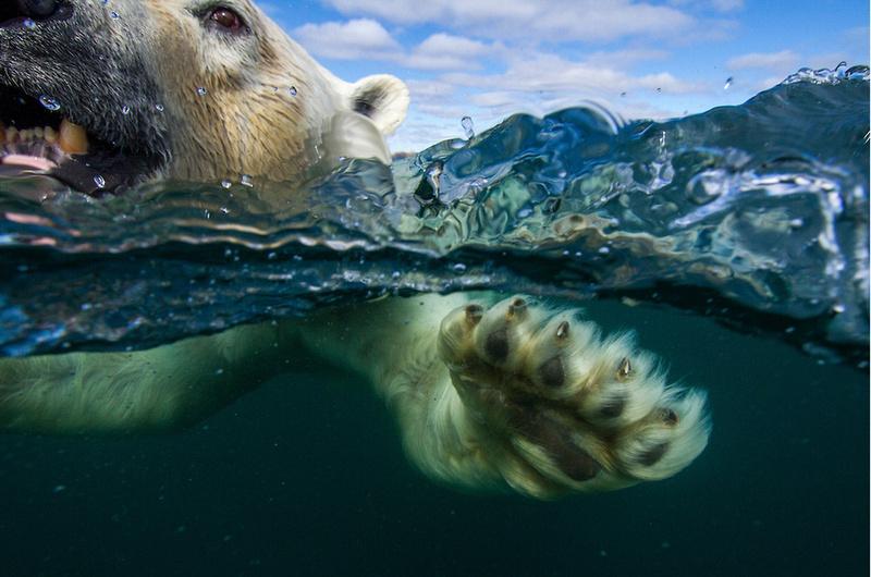 psouders-polar-bear